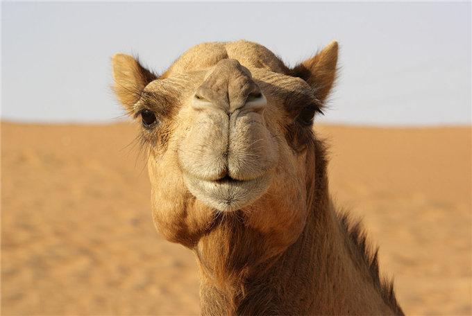 骆驼乳的营养成分大全详解