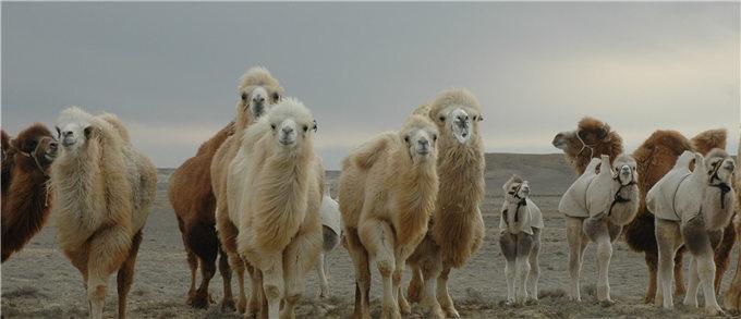 骆驼奶的六个问号