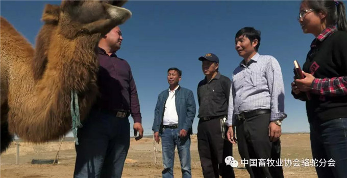 节后开工发扬骆驼精神---积极创建骆驼产业精准扶贫模式 铸就边疆贫困牧民脱贫致富梦想