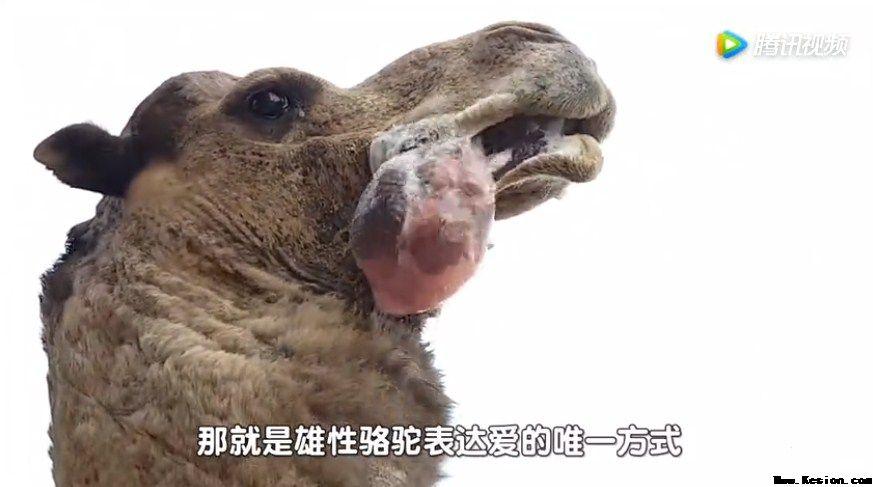 你知道从骆驼嘴里吐出来的粉色肉球是什么吗?