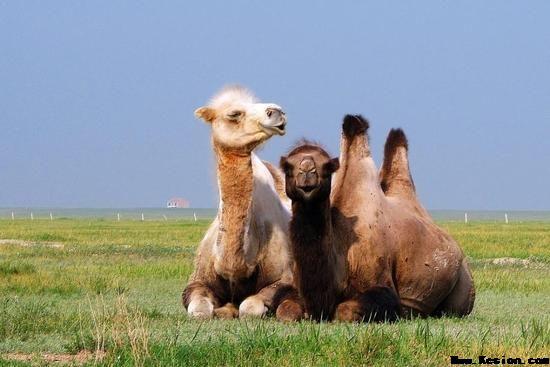 骆驼初乳的营养成分和-旺源骆驼奶专卖网