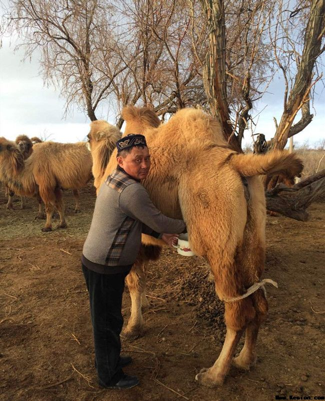 看看牧民是怎么放养骆驼的
