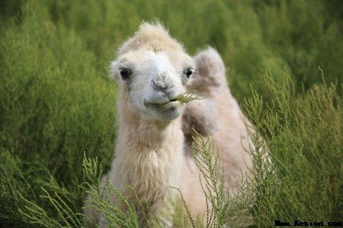 你知道骆驼奶有哪些好处吗?