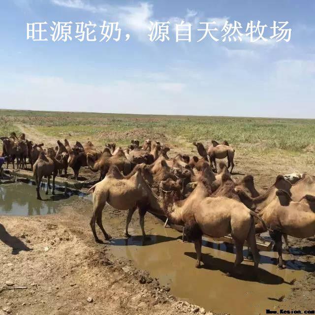 骆驼奶也有真假,怎么才-旺源骆驼奶专卖网