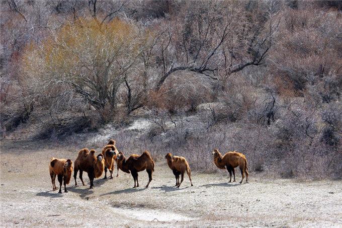 中国商人在哈萨克斯坦-旺源骆驼奶专卖网