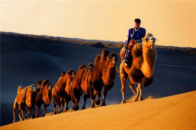 迪拜皇室贵族都奉若仙-旺源骆驼奶专卖网