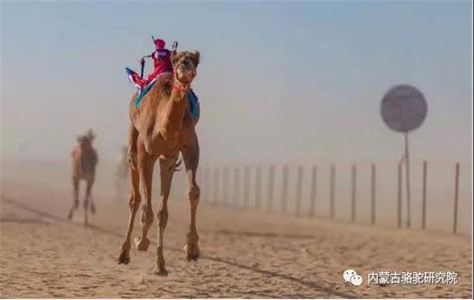 沙特阿拉伯的空旷季度-旺源骆驼奶专卖网