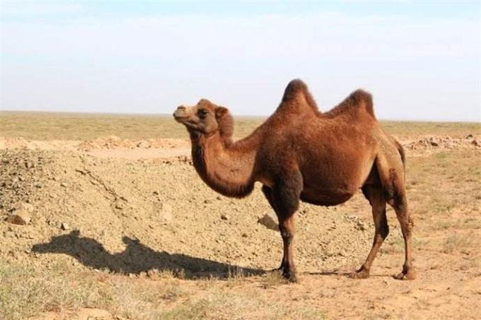 比大熊猫还珍稀的双峰-旺源骆驼奶专卖网