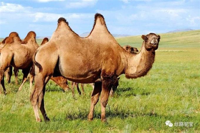 """中国""""驼乡""""的五千年-旺源骆驼奶专卖网"""