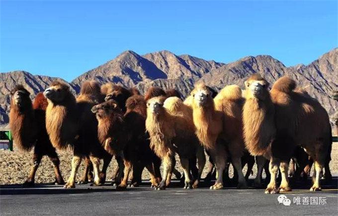 骆驼奶的药用价值(肾病篇)