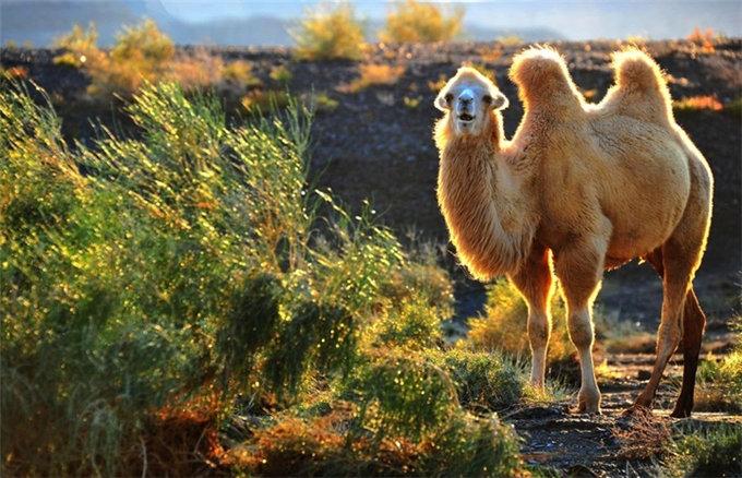 神奇的骆驼奶,为何对肝