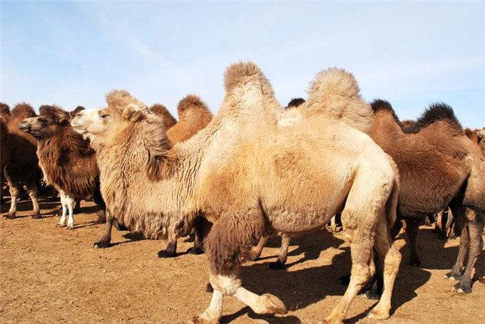骆驼奶的特性有哪些-旺源骆驼奶专卖网
