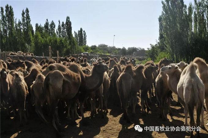 新春佳节话骆驼—新疆-旺源骆驼奶专卖网