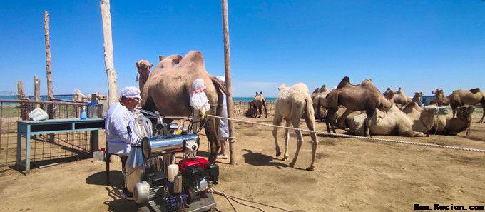 骆驼奶专卖网为您提供:香港商报:走進「中國駱駝之都」新疆福海縣